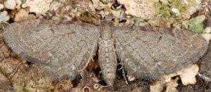 Eupithecia valerianata 38 1