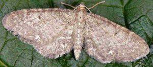 Eupithecia valerianata 73 1