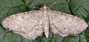 Eupithecia valerianata 73 2
