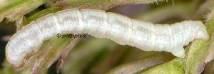 Eupithecia valerianata L4 38 1