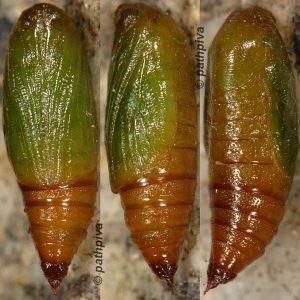 Eupithecia valerianata chrysalide 38 1