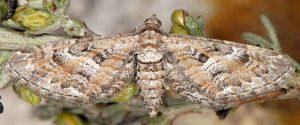 Eupithecia variostrigata