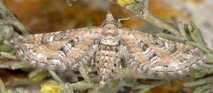 Eupithecia-variostrigata-13-3