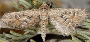 Eupithecia-variostrigata-13-4