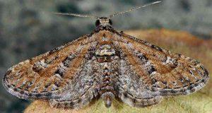 Eupithecia variostrigata 30 1