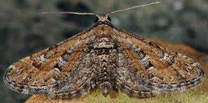 Eupithecia variostrigata 30 2