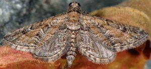 Eupithecia variostrigata 30 3