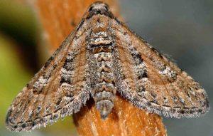 Eupithecia variostrigata 30 4