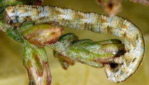 Eupithecia variostrigata L5 30 3