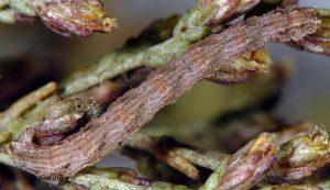 Eupithecia variostrigata L5 30 5
