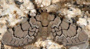 Eupithecia venosata 2A 1