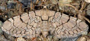 Eupithecia venosata 2A 2