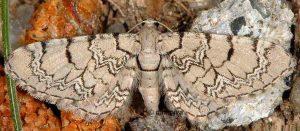 Eupithecia venosata 2B 1