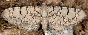 Eupithecia venosata 2B 2