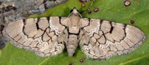 Eupithecia venosata 2B 3