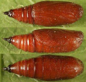 Eupithecia venosata