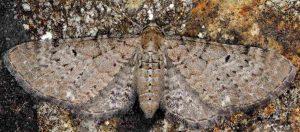 Eupithecia veratraria 06 1