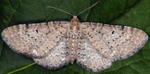 Eupithecia veratraria 06 2