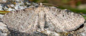 Eupithecia veratraria 66 1