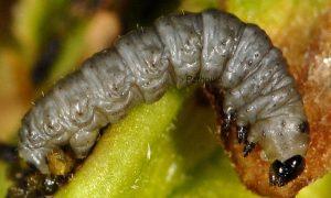 Eupithecia veratraria L4 06 2