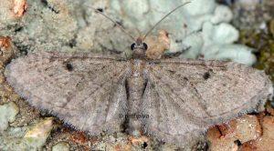 Eupithecia virgaureata 2B 1