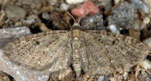 Eupithecia virgaureata 66 1