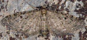 Eupithecia virgaureata 66 2