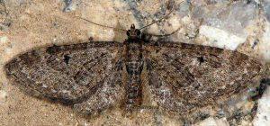 Eupithecia vulgata 2A 1
