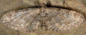 Eupithecia vulgata 66 1