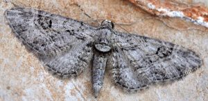 Eupithecia weissi 34 1
