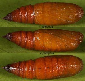 Eupithecia weissi