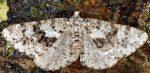 Fagivorina arenaria 06 1