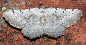 Gnopharmia stevenaria Espagne