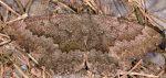 Gnophos furvata 06 1