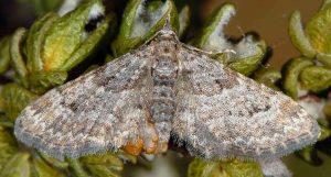 Gymnoscelis rufifasciata 06 1