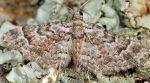 Gymnoscelis rufifasciata 06 3