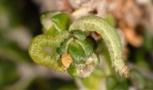 Gymnoscelis rufifasciata L4 1