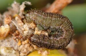 Gymnoscelis rufifasciata L5 2