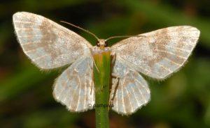 Hydrelia flammeolaria 38 3