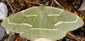Hylaea fasciaria 06 1