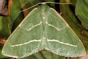 Hylaea fasciaria 06 2