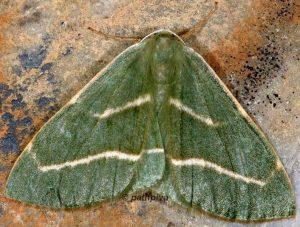 Hylaea fasciaria 06 3