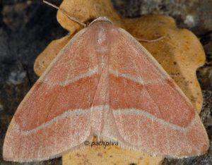 Hylaea fasciaria 06 4