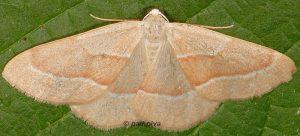 Hylaea fasciaria 06 5
