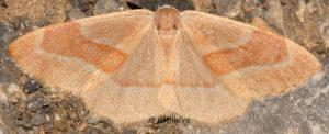 Hylaea fasciaria 06 6