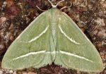 Hylaea pinicolaria 2B 1