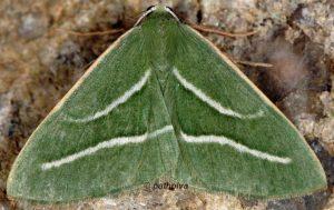 Hylaea pinicolaria 2B 2