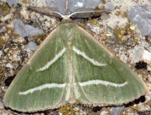Hylaea pinicolaria 2B 3
