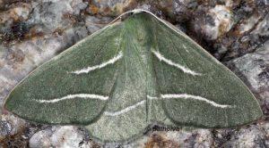 Hylaea pinicolaria 2B 4