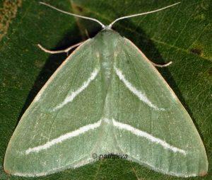 Hylaea pinicolaria 2B 5